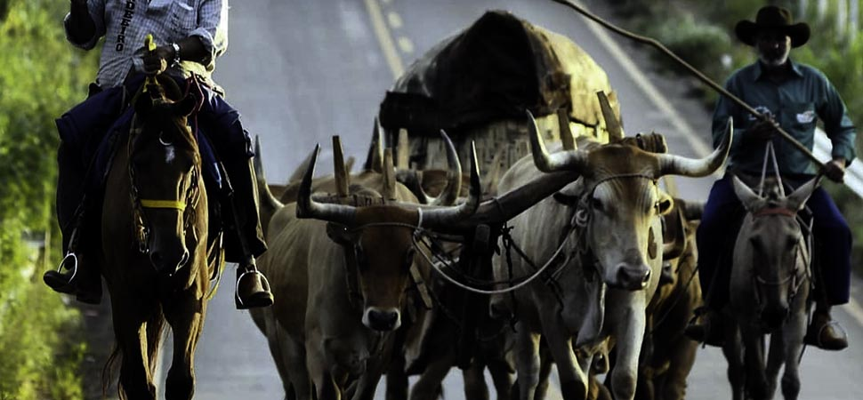 Desfile de carros de boi movimentou a festa de São Sebastião em Pirenópolis